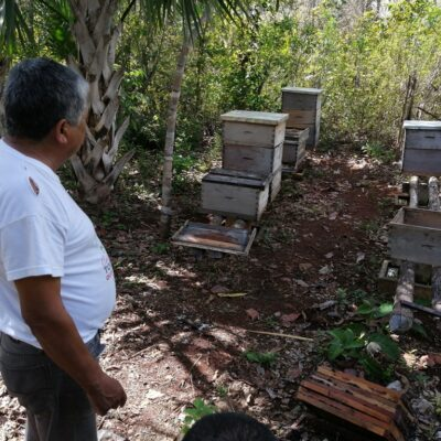 Consideran como remota la posibilidad de la llegada de la avispa asiática a Quintana Roo