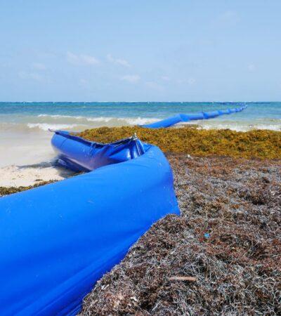 Activan primeros protocolos para enfrentar arribo de sargazo a costas de Quintana Roo