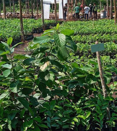 Campesinos de Kantunilkín aprovechan cuarentena para reforestar