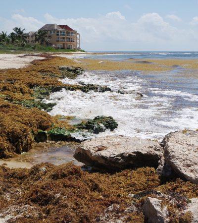 Empresa mexicana establecerá tres procesadoras de sargazo en Quintana Roo