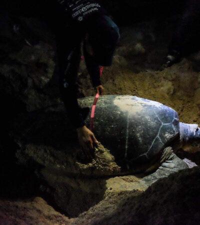 Refuerzan operativos de conservación en Puerto Morelos en el mes de la tortuga marina