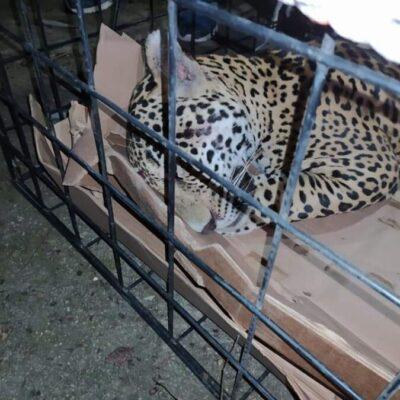 Atropellan a jaguar en comunidad de OPB