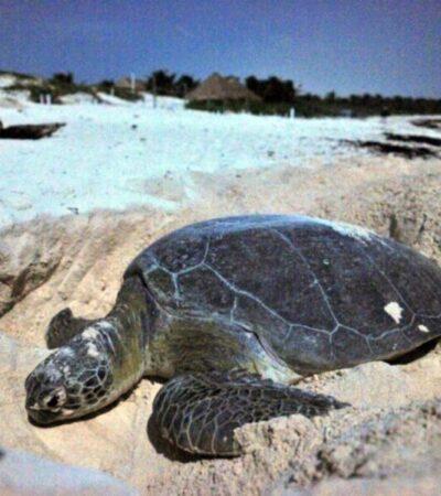 Lanzarán en EU base de datos para fomentar la investigación y conservación de la tortuga marina