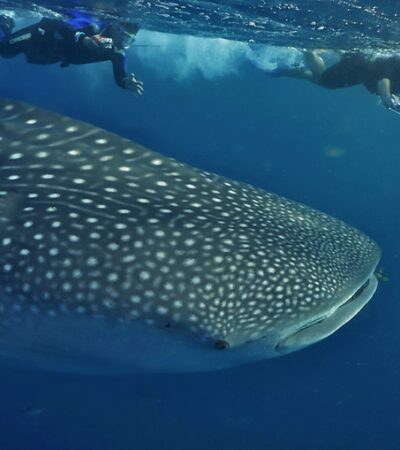 Confianza del sector naviero de Holbox en el atractivo del tiburón ballena para reactivar el turismo