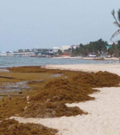 Detecta Semar que grandes cantidades de sargazo se están desviando a Yucatán