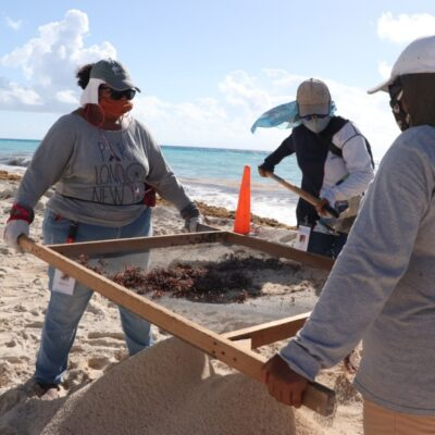 Continúan labores para retirar sargazo de arenales en Cancún y Playa del Carmen