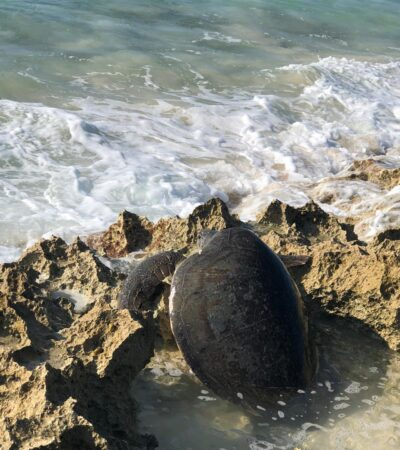 Rescatan a tortuga blanca atorada en playa de Cozumel