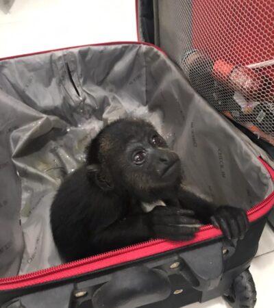 VIAJE INCÓMODO: Rescatan en Bacalar dos monos aulladores escondidos en una maleta