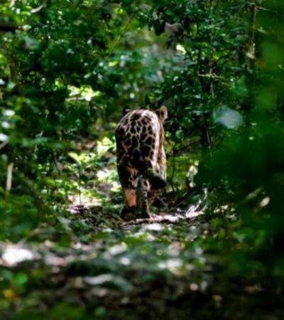 Liberan a jaguar en la Reserva de la Biósfera de Sian Ka'an tras recuperarse de accidente