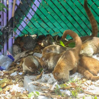 Realizarán limpieza de áreas donde habitan coatíes en Cancún