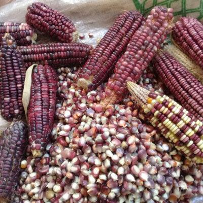 Plaga gusanera y sequía afectan la producción de maíz en Lázaro Cárdenas